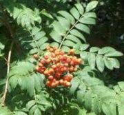 Mountain Ash (Rowan Tree)